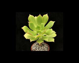 Aeonium lancerrotense | Species | Surreal Succulents