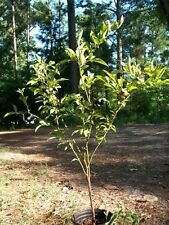 Austin Blueberry Plant Sweet Healthy Plants Blueberries Amino Acids Minerals NOW