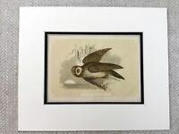 1853 Antico Stampa Marrone Gufo Gufi British Uccelli Originale Vittoriano Art
