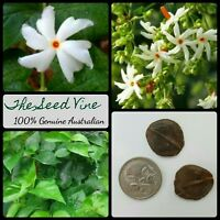 10+ NIGHT FLOWERING JASMINE SEEDS (Nyctanthes arbor-tristis) Parijat Coral Siuli