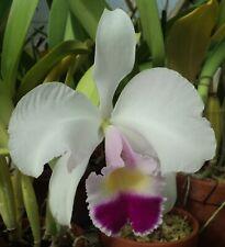 New listing Rare Cattleya Orchids - C trianaei 'Snow' Original Division