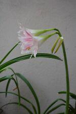 Hippeastrum tweedianum 1 bulb
