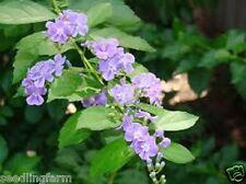 1 Geisha Girl Duranta Erecta Garden Plant Evergreen Shrub