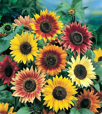 Sunflower AUTUMN BEAUTY 10 Seeds (HEIRLOOM) Flowers