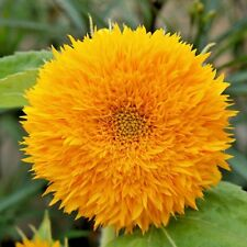 SUNFLOWERS - DWARF SUNGOLD - TEDDY BEAR - 350 HIGH QUALITY FLOWER SEEDS
