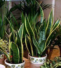 10 seeds air purifier SANSEVIERIA TRIFASCIATA Snake plant