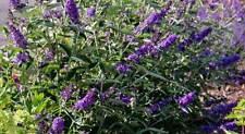 Buddleia Petite Violet Dwarf 2 Pint Plants Free Ship