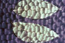 Vintage 35mm Slide Artistic Leaves Leaf Water Glass Artwork