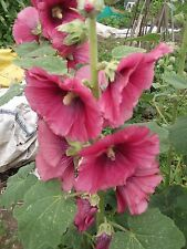 100 PINK HOLLYHOCK  SEEDS