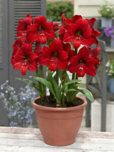 1 Hippeastrum Amaryllis Red Tiger Flowering Hardy Perennial Garden Bulb