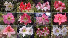 Amaryllis Bulbs Hippeastrum Flower Mix Perennial Resistant Bonsai Balcony Plant