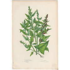 Anne Pratt antique 1860 botanical print, Pl 177 Goosefoot