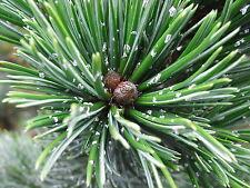 Pinus aristata BRISTLECONE PINE TREE Seeds!