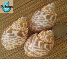 3 LARGE MEDIUM BABYLONIA SPIRATA SEA SHELLS - CRAFT OR HERMIT CRABS