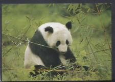 Animals Postcard - Panda Bear Eating Bamboo   RR4573