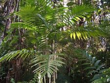 Chamaedorea hooperiana-hoopers Palm - 10 semi freschi