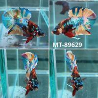 (MT-89629) Marble Copper Nemo Koi Galaxy Live Male Plakat HM Betta Fish Grade A+