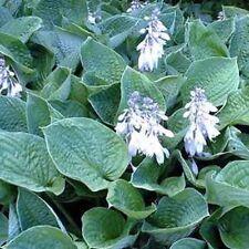 "HOSTA Sieboldiana 'Elegan' ~White Bloom~ ""Plantantain Lily"" 15+ Perennial Seeds"