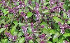 1000 CINNAMON BASIL Ocimum Basilicum Seeds *Comb S/H