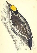 Pájaros carpinteros: pico tridáctilo (Morris); antigua de impresión de 1880