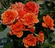 Mandarin Orange HONEYBUN Large Clusters 4lt Potted Patio Rose