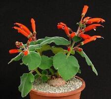 Sinningia cardinalis, exotic rare caudex cauduciform bulb gesneria seed 50 SEEDS