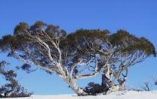 Tall Snow gum - Eucalyptus pauciflora pauciflora   - 120 Seeds