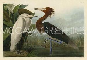 "Purple Heron by John James Audubon - Art Print Poster  11"" x 14"" (40478)"