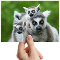 "Ring Tailed Lemur Wild Nature Small Photograph 6""x4"" Art Print Photo Gift #12666"