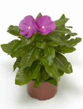 New listing 90 Vinca Cora Xdr Orchid Live Plants Plugs Garden Home Diy Planters 555M