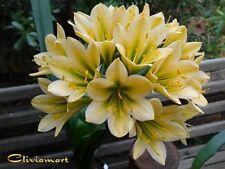 Clivia N°52 TK Original #3 x Cranrao   (one year old seedling)