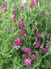 EVER LASTING SWEET PEA - PERENNIAL - CLIMBER 50 SEEDS