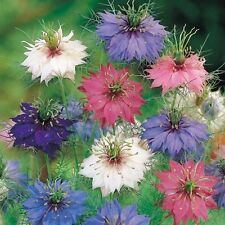 Nigelle de Damas ROSES & BLEUES Blue & Rose Love in a Mist 2000 GRAINES Seeds