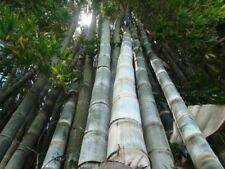 100+ Fresh Giant Bamboo Seeds with instructions - Dendrocalamus Giganteus