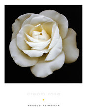 Harold Feinstein CREAM ROSE poster stampa d'arte immagine 36x28cm