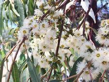 Small Fruited Grey Gum (Eucalyptus propinqua) - Seeds