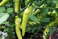 Sweet Banana Pepper Seeds, NON-GMO, Heirloom, Mild, Variety Sizes, FREE SHIPPING
