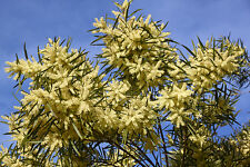 Acacia floribunda (GOSSAMER WATTLE) in 50mm forestry tube native plant screen
