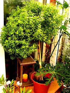BASILIKUM als BAUM (bis 1,50 m hoch) mehrjährig sehr intensiv, grün, 50 Samen