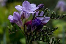 2 Bulb Freesia Hybrid Light Blue Flowers Garden ( Not Seeds) Beautiful Perennial