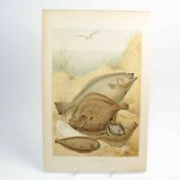 Flat Fish natural history print antique lithograph 19th century colour
