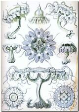 "ERNST HAECKEL CANVAS PRINT Art Nouveau Jelly Fish Sea 36""X 24"" Discomedusae C"