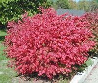 Dwarf Burning Bush Hardy 10 bare root plants  Euonymus alatus shrub