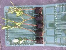 Collection of 5 Ornamental Willow Varieties in 4cm Plugs