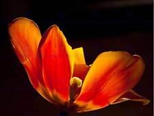 TULIP FLOWER BRIGHT ORANGE YELLOW PHOTO ART PRINT POSTER PICTURE BMP045B