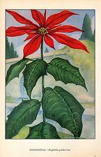 """1926 Vintage GARDEN FLOWER """"POINSETTIA"""" GORGEOUS COLOR Art Print Lithograph"""
