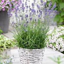MUNSTEAD Lavender Lavanula angustifolia fragrant plants - 6cell LARGE punnet