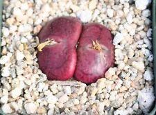 4 graines de PIERRES VIVANTES (CONOPHYTUM MAUGHANII)H439 CONE PLANT SEEDS SAMEN