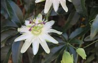 USA Seller- Passion Flower Seeds 50pcs Certified Pure Live True Seed