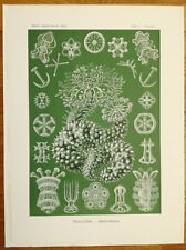 ERNST HAECKEL: Kunstformen Thuroidea Starfish (No. 50) 1st. Edition - 1900